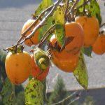 渋柿を甘くする方法、リンゴや焼酎などお酒で意外と簡単!5つの方法をご紹介!