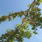 銀杏の食べ方は簡単!フライパン、レンジやトースターの3つの方法まとめ!