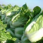 白菜の保存、冷凍やカットしたものの保存期間は?常温で長持ちの方法は?