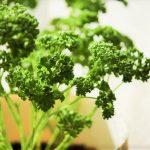パセリの栄養と効能、茎にも効果?加熱もOKで食べ過ぎは?高血圧や妊娠中にもおすすめ!