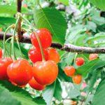 さくらんぼの保存方法、枝は?常温、冷蔵庫では?冷凍はカルピスで?保存期間は?