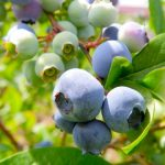 ブルーベリーの食べ方、皮は食べる?保存方法やおすすめの食べ方は?