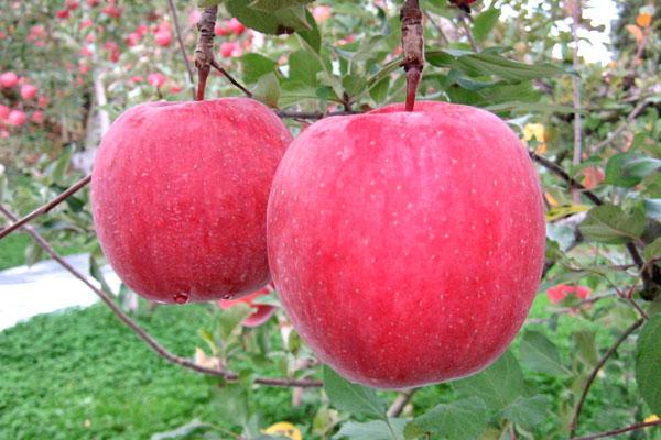 リンゴの種類と品種、人気のリンゴは?皮のべたべたは「油あがり」!