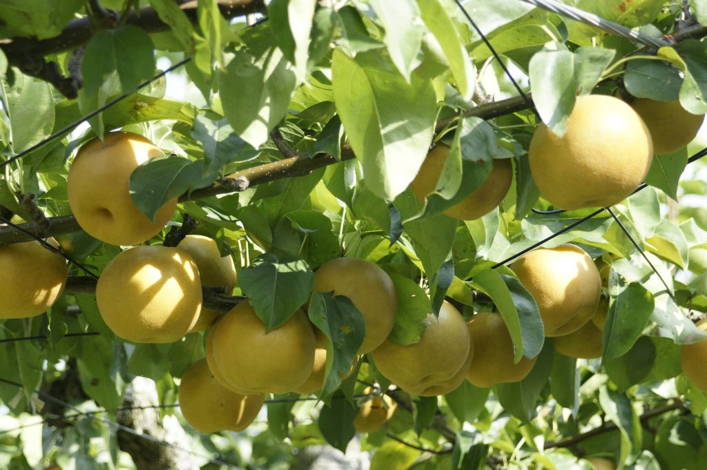 梨の栄養と効能、効果的な食べ方は?下痢や妊婦さんは要注意?